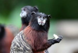 A Peruvian monkey 'pichico' at Monkeys Island, near the village of Iquitos, at the Amazonian region of Peru
