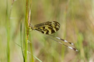 Thread-winged lacewing – wood fairy (Nemoptera bipennis) – insect on grass in Andalucia, Spain.