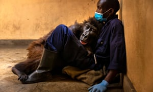 Orphaned mountain gorilla Ndakasi lies in the arms of her caregiver, Andre Bauma, before dying days later on 26 September after a prolonged illness.