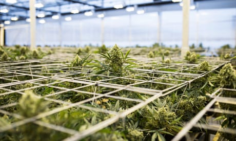 Growing pains: how Oregon wound up with way more pot than it can smoke