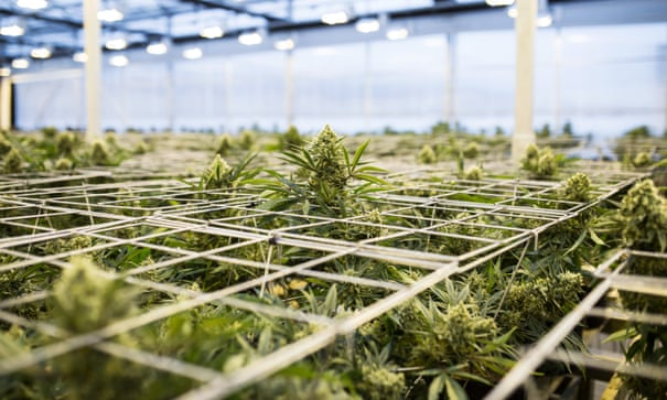 Growing pains: how Oregon wound up with way more pot than it