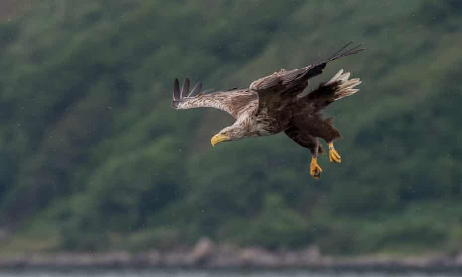 A sea eagle in flight, Isle of Mull, Scotland