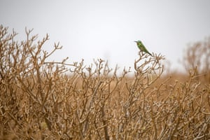 A bee-eater is seen in the Sahara in Nouakchott, Mauritania, close to the country's 470-mile Atlantic coastline