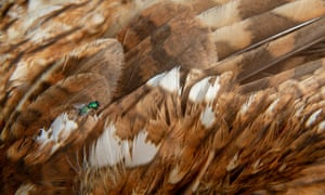 A fly sits on the dead bird's feathers