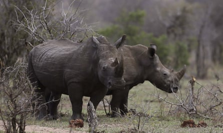 Rhinos graze in Kruger National Park in South Africa. Conservationist fear that this week's online auction of rhino horns will fuel the surge in rhino poaching that has occurred at record levels in the past decade.