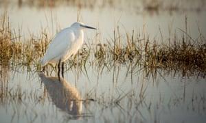 A little egret wading in a salt water marsh