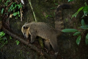 coati foraging for food