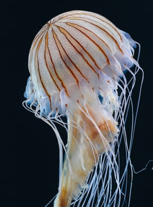 Chrysaora pacifica, or Japanese sea nettle
