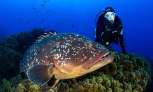 "Dusky Grouper""Scuba Diver and Dusky Grouper, Epinephelus marginatus, Formigas, Azores, Portugal"""