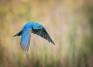 A mountain blue bird takes flight in the US