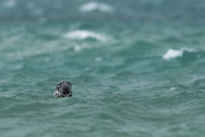 Documentary series: Rehabilitated Grey Seals Being Released into the Wild, Cornwall, image 5