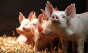 Gene-edited pigs at that are resistant to PRRS virus - a deadly pig disease. (Porcine Reproductive and Respiratory Virus) Roslin Institute part of the University of Edinburgh, Edinburgh, Scotland UK 14/06/2018© COPYRIGHT PHOTO BY MURDO MACLEODAll Rights ReservedTel + 44 131 669 9659Mobile +44 7831 504 531Email:  m@murdophoto.comSTANDARD TERMS AND CONDITIONS APPLY See details at http://www.murdophoto.com/T%26Cs.html No syndication, no redistribution. sgealbadh, A22G5C