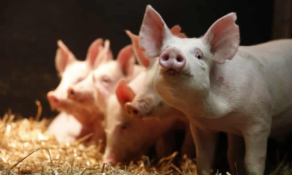 Gene-edited pigs  resistant to the PRRS virus.