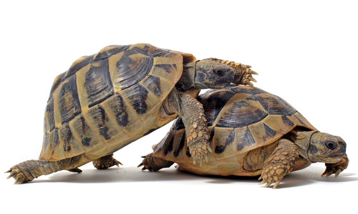 Turtle Sex Sound