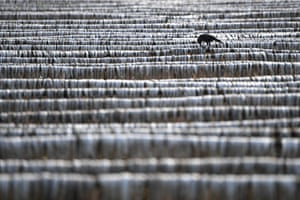 A bird pecks at dried fish at Nazirartek fish-drying yard