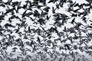 A large flock of greater white-fronted geese, fly in the puszta or Hungarian steppe of Hortobagy