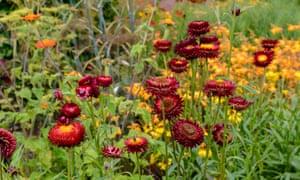 The annual strawflower Helichrysum bracteatum 'Scarlet'.