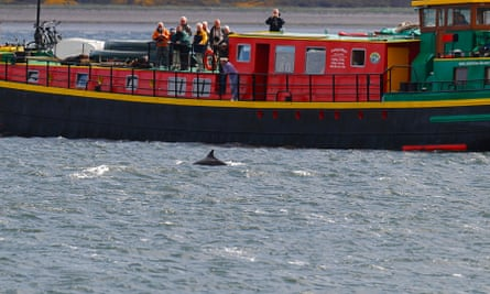 A dolphin glides past the Ros Crana in the Moray Firth