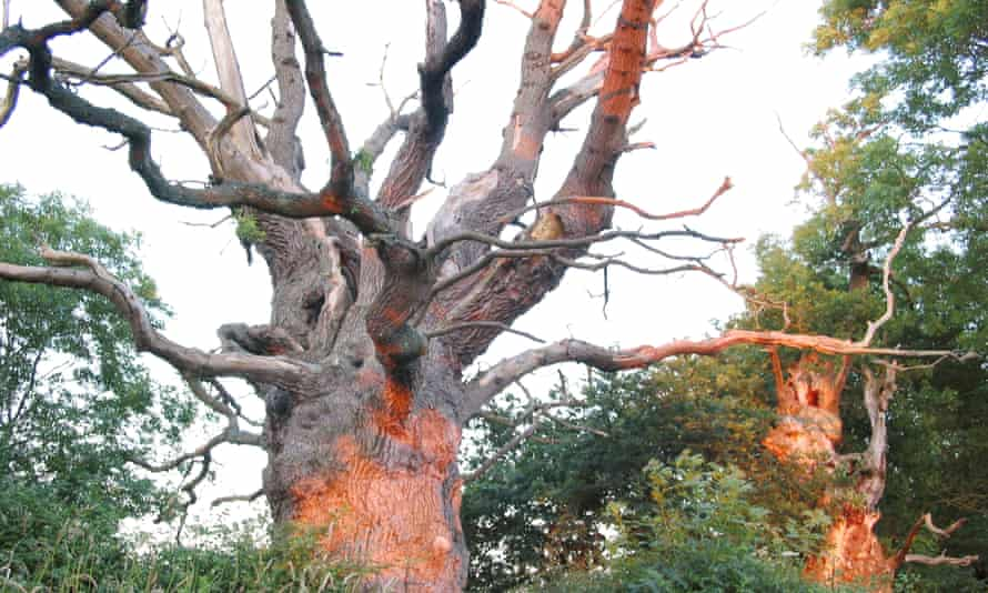 Gog and Magog, the ancient oak trees thought by some to be a traditional entryway to Glastonbury and part of a ceremonial druidic avenue.