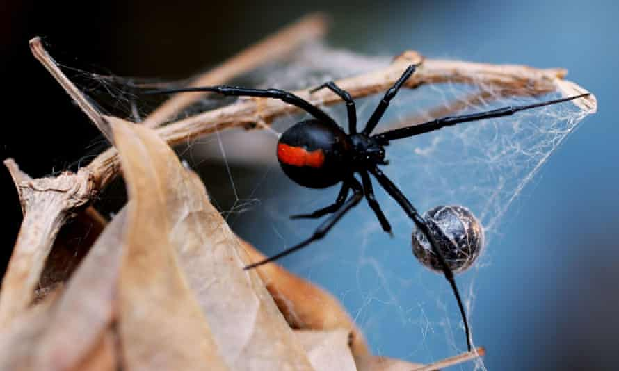 A Redback Spider is pictured at the Australian Reptile Park
