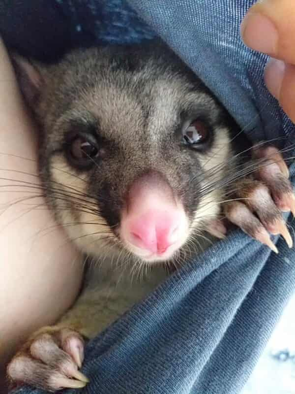 Eddie the opossum.  Some people in New Zealand are housing possums.  New Zealand's opossum population means they are considered a pest.