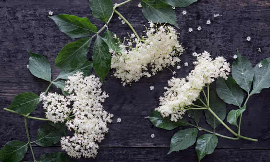 Elderflowers on dark wood, elevated viewSerie: Selbstgemachter Holunderblutensirup, frische Bluten auf dunklem Holz