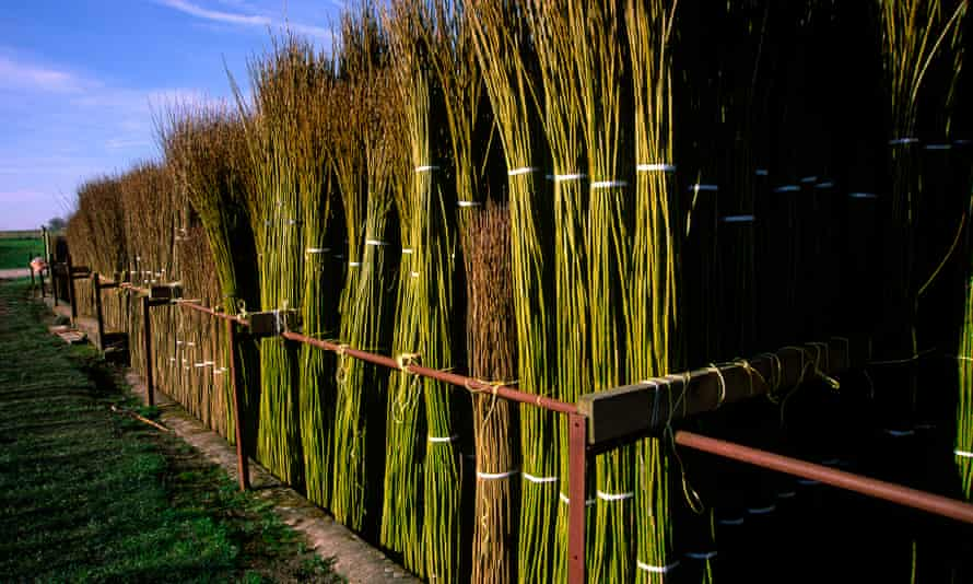 Fresh Harvested Willow. Coates English Willow, Somerset