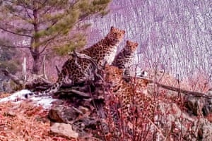 This image from footage taken with a camera trap in December 2020 shows a young female Amur leopard with three cubs in the Land of the Leopard National Park in the far-eastern Primorye region of Russia on the border with China