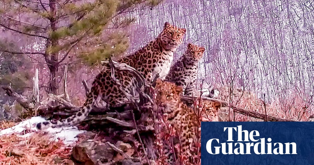 Russia hails rare sighting of Amur leopard mother with cubs