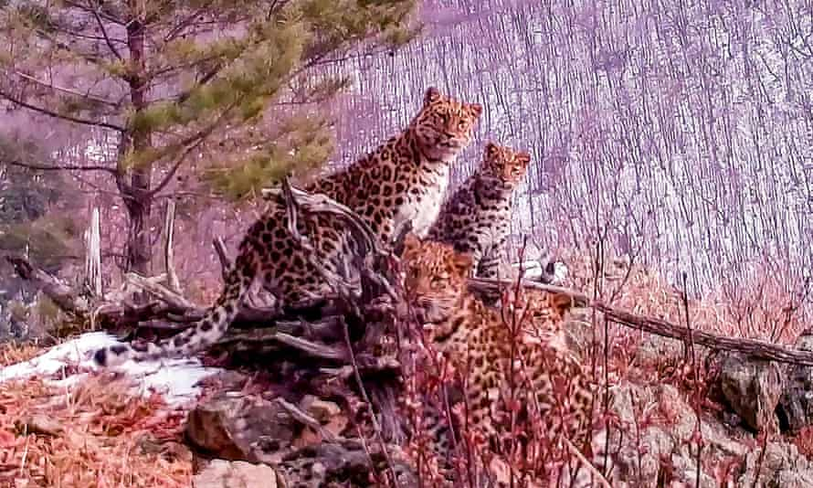 The footage shows a young female Amur leopard with three cubs in the Land of the Leopard National Park