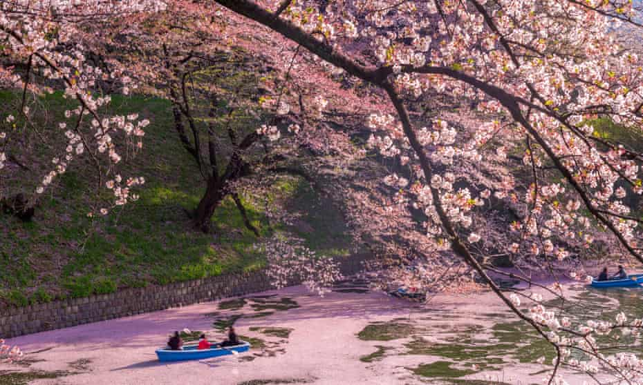 Blossom time … The Imperial Palace's Chidori-ga-fuchi Moat in Tokyo