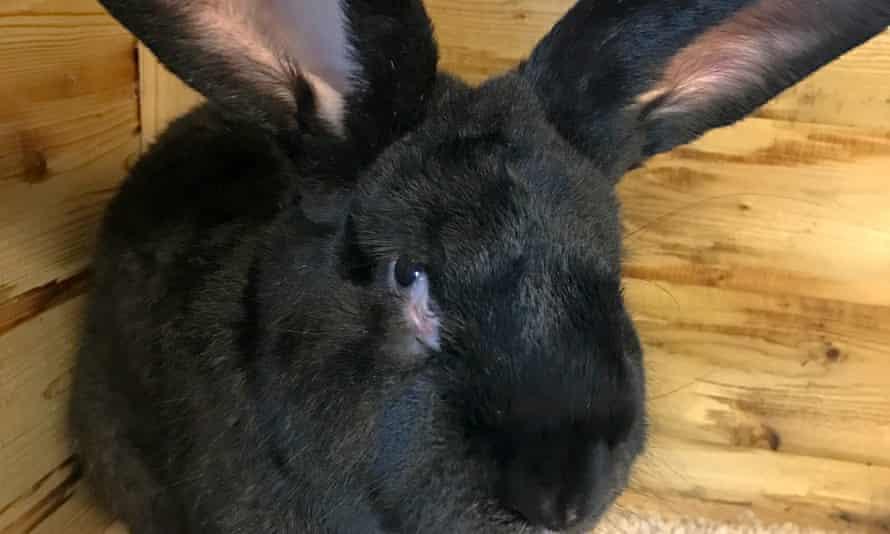 Simon the giant rabbit.