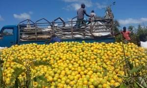 2015 12 04 Photos from Katine : Oranges near Charles Eyagu's garden in Katine after truck taking them to the Kenyan border got stuck