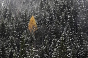 A golden larch stands out among snow covered trees in Bayrischzell, Germany