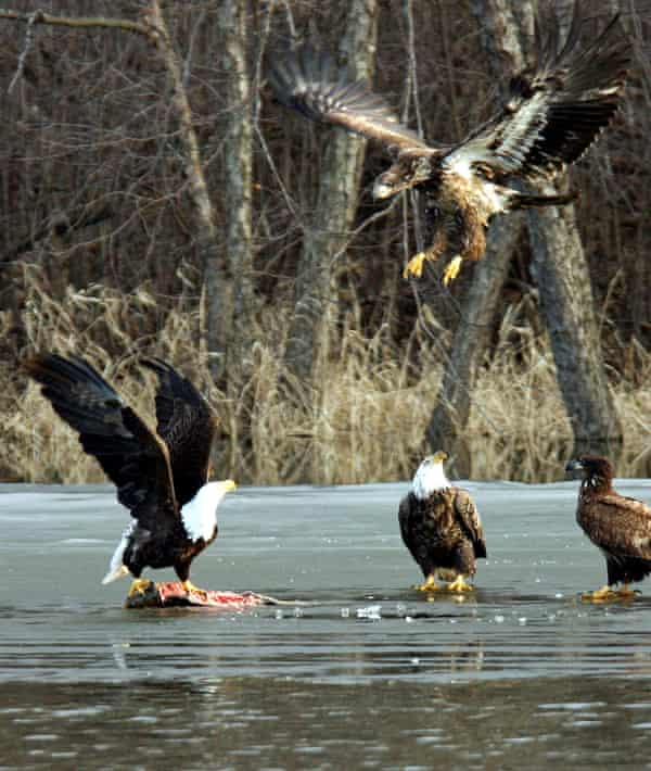A group of bald and golden eagles feed on a fish on the frozen surface of the Mississippi River near LaCrescent, Minnesota.