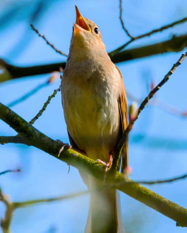 Nightingales have vanished from places where they were once common.