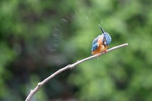 A kingfisher shakes water off itself on a tree branch in Hongmei park in Changzhou city, Jiangsu, China.