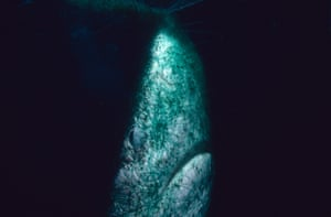 Blue shark completely entangled in a driftnet, North Pacific