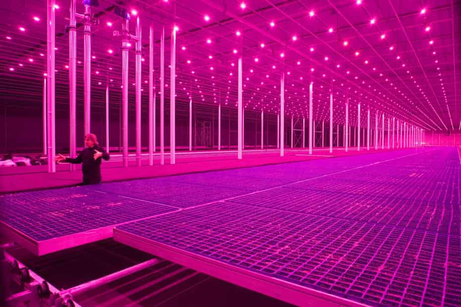 Mutating territory … glasshouses with pink growing lights highlight fast-changing agriculture technology.