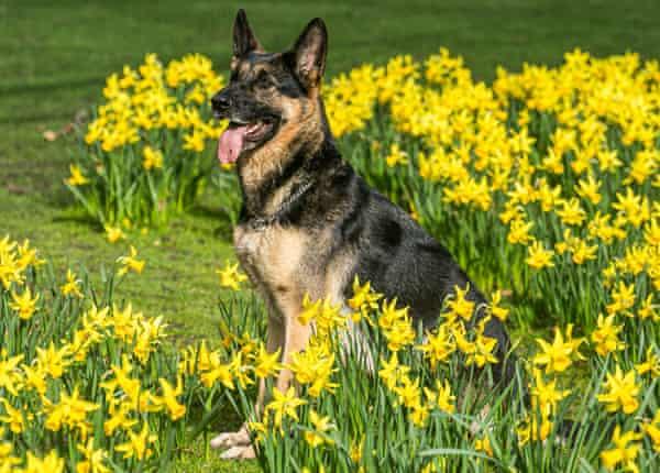 A German shepherd dog sits amid daffodils in the sunshine