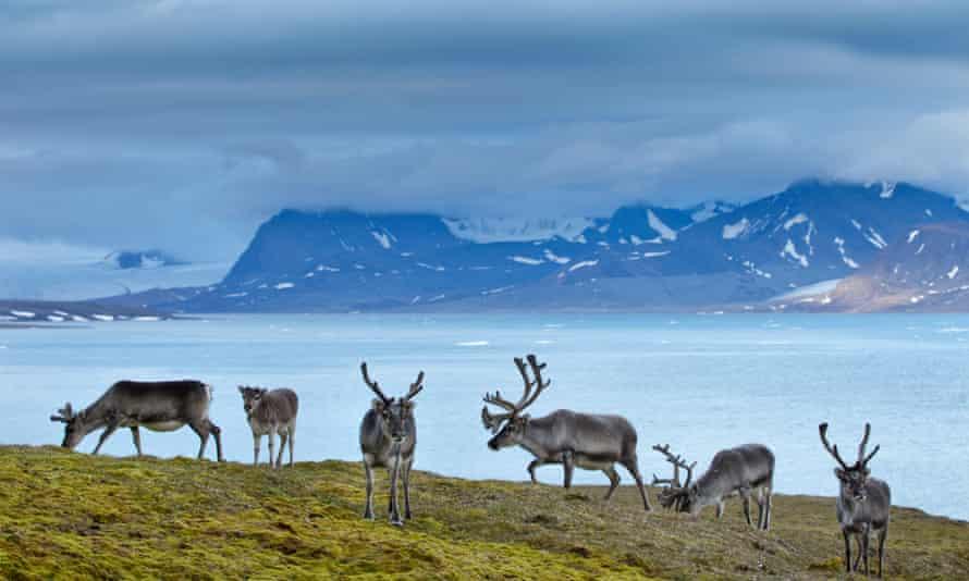 Reindeer graze on Spitsbergen, one of the islands that make up the Svalbard archipelago