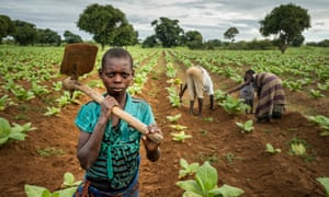 Child labourer Tiyamike on a tobacco farm in Malawi.