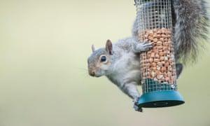 Grey squirrel stealing food from a bird feeder