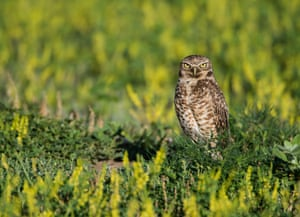 Burrowing Owl (Athene cunicularia), a grassland bird in Sage Creek wilderness, Badlands National Park, S outh Dakota, US. The US and Canada have lost more than one in four birds – a total of three billion – since 1970.