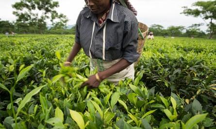 Woman picking tea in field