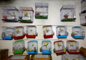 Canary cages hang inside a shop
