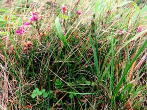 Bell heather and salad burnet growing together in limestone heath at Dolebury Warren
