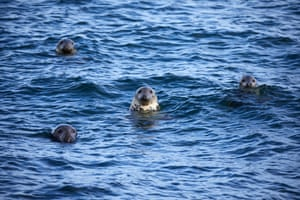 Seals swimming
