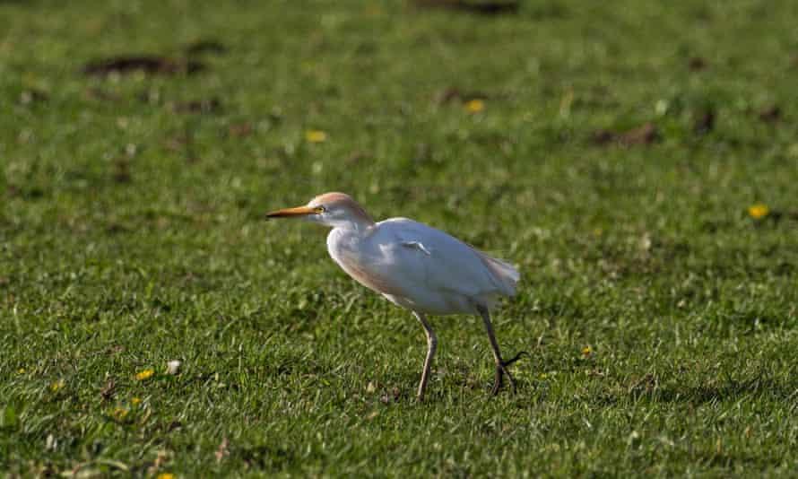 Cattle egret on farmland near Westhay Moor, Somerset, UK.