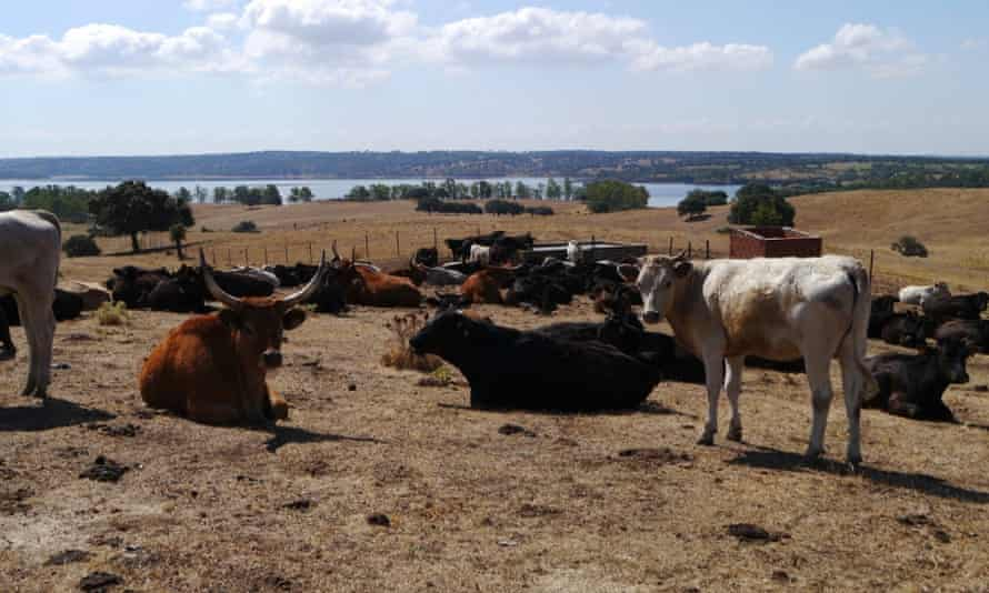 Some of the cows on Alfonso García Cobaleda's 500-hectare farm in northern Extremadura